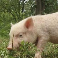 Мелкий свин